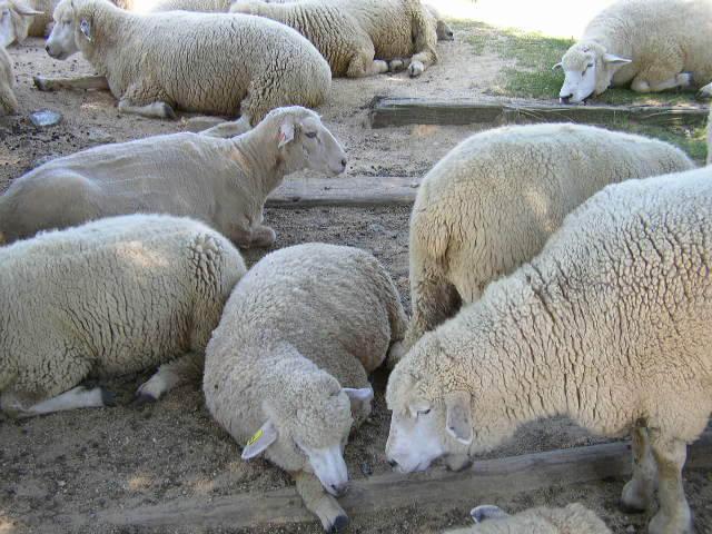 六甲山牧場羊の群れ