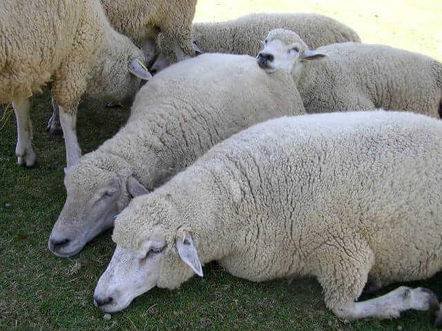 六甲山牧場寝てる羊