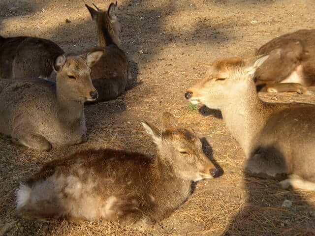 奈良公園の鹿シカ